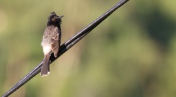 Bulbul, Red-vented 5
