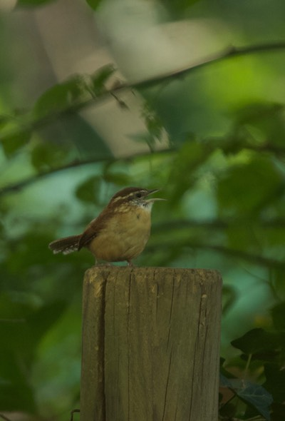 Carolina Wren, Thryothorus ludovicianus - Maryland1