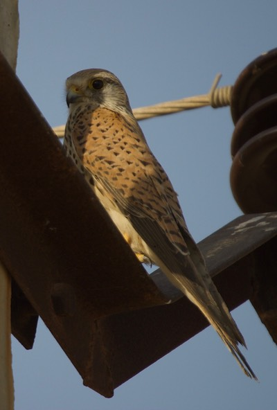 Common Kestrel, Falco tinnunculus2