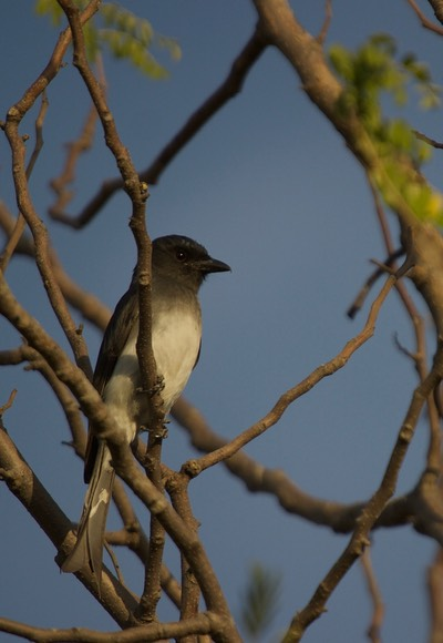 Drongo, White-bellied
