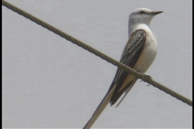 Flycatcher, Scissor-tailed 21