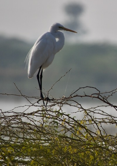 Great Egret Gujarat2