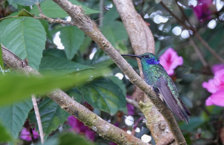 Green Violetear, Colibri thalassinus cyanthus or Lesser Violetear Colibri cyanthus in some sources     1