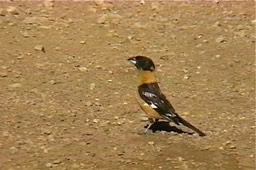 Grosbeak, Black-headed 5