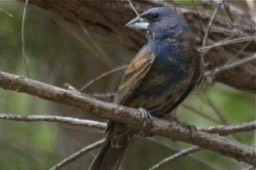 Grosbeak, Blue 1_1