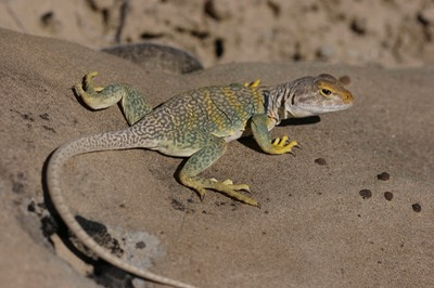 Greater Earless Lizard 2