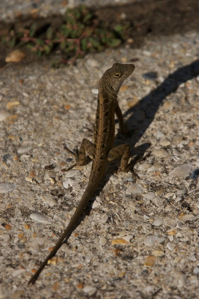 Anole, Brown