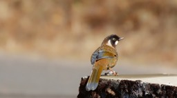 Laughingthrush, Black-faced 1