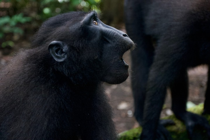 Macaque, Crested Black10