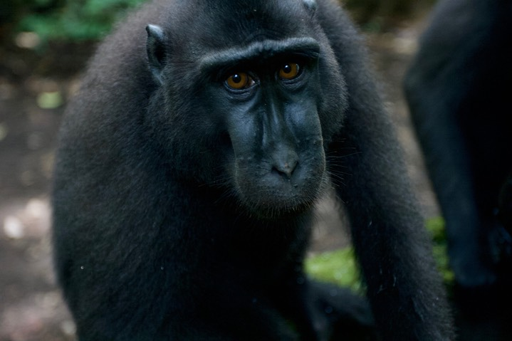 Macaque, Crested Black7