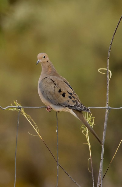 Mourning Dove Tucson 2