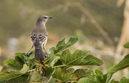 Northern Mockingbird, Mimus polyglottos1