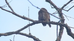 Owlet, Asian Barred 1