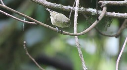 Tit, Yellow-browed