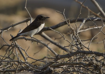 Variable Wheatear, Oenanthe picata1b