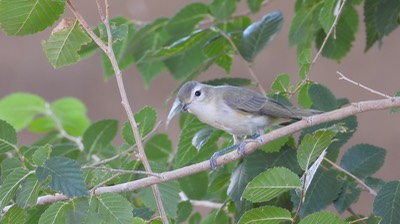 Vireo, Warbling  Hillsboro, New Mexico  September 2020 4