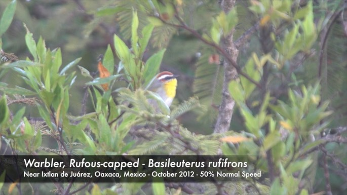 Warbler, Rufous-capped