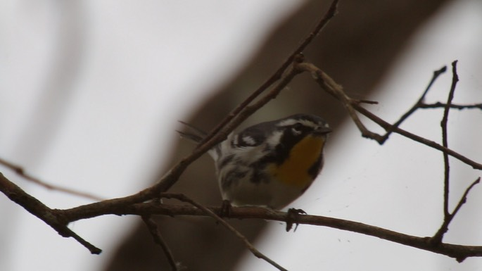 Warbler, Yellow-throated 1