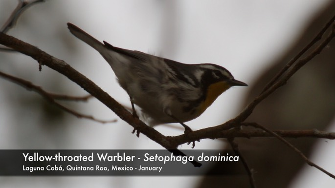 Warbler, Yellow-throated 2
