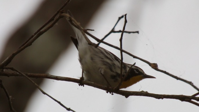 Warbler, Yellow-throated