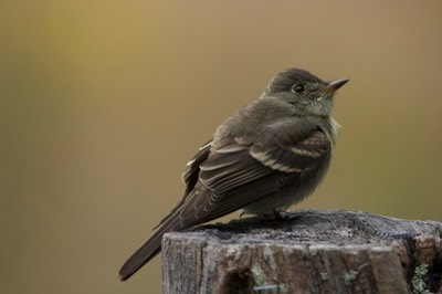 Willow Flycatcher, Great Smokey Mts. NP, TN6
