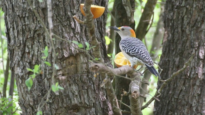 Woodpecker, Golden-fronted (Texas)