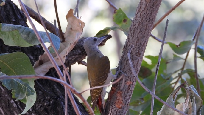 Woodpecker, Grey - Senegal 3