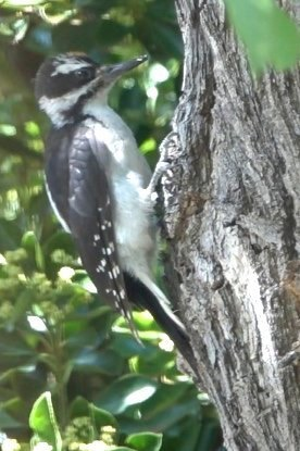 Woodpecker, Hairy (Hillsboro 716-1)