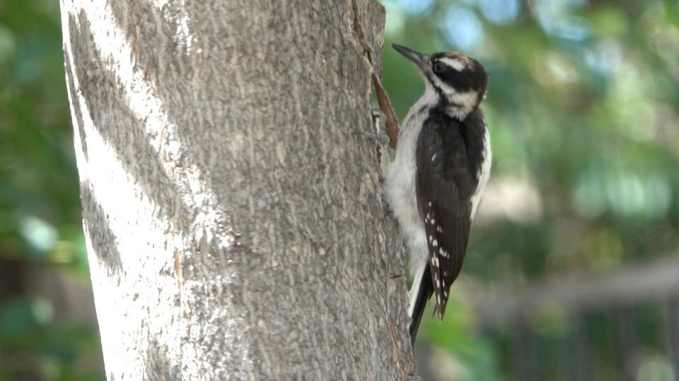 Woodpecker, Hairy (Hillsboro 716-5)
