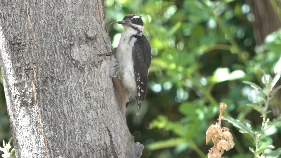 Woodpecker, Hairy (Hillsboro 716-10)