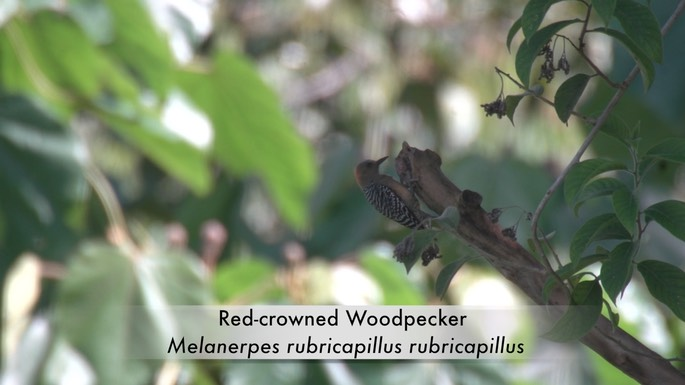 Woodpecker, Red-crowned