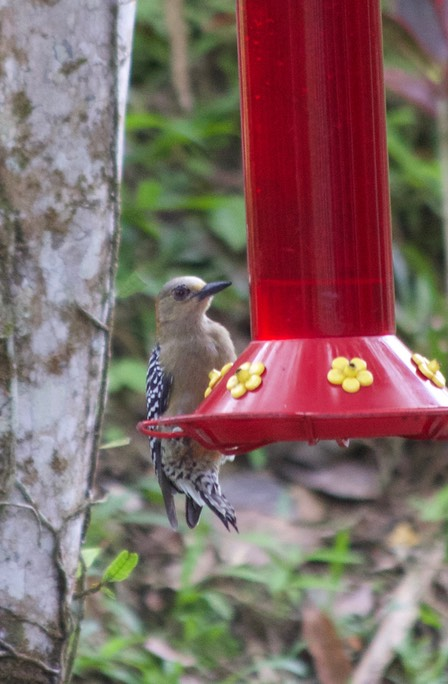 Woodpecker, Red-crowned1