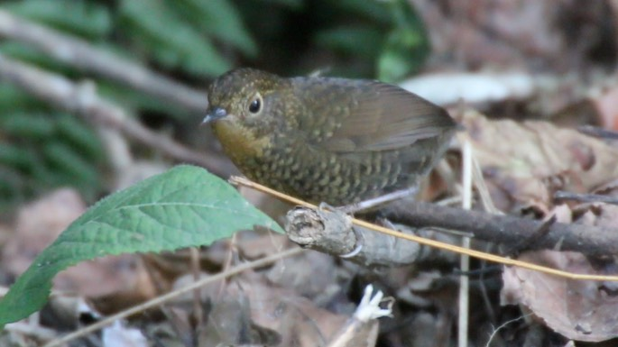Wren-Babbler, Scaly-breasted