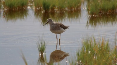 Yellowlegs, Lesser (Oregon) 1