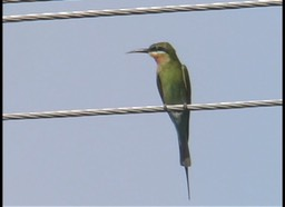 Bee-Eater, Blue-tailed 3