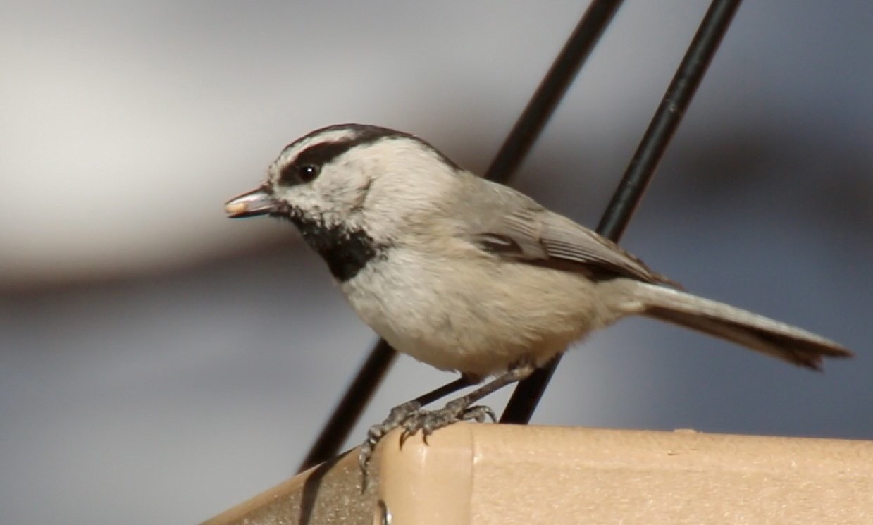 Chickadee, Mountain 3