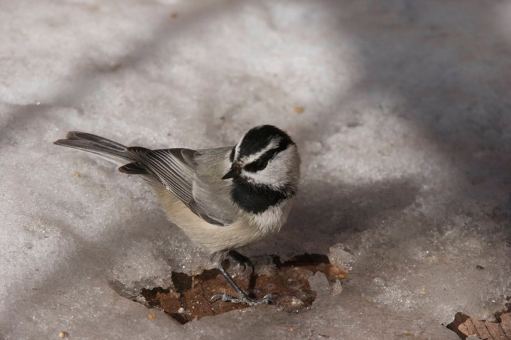 Chickadee, Mountain a