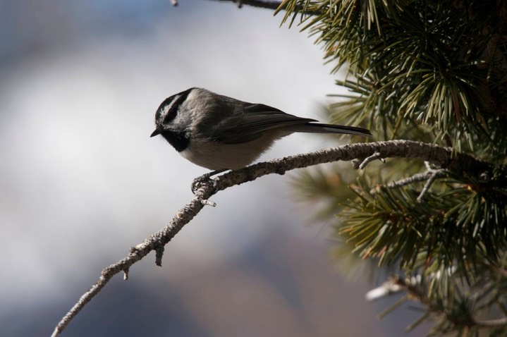 Chickadee, Mountain b