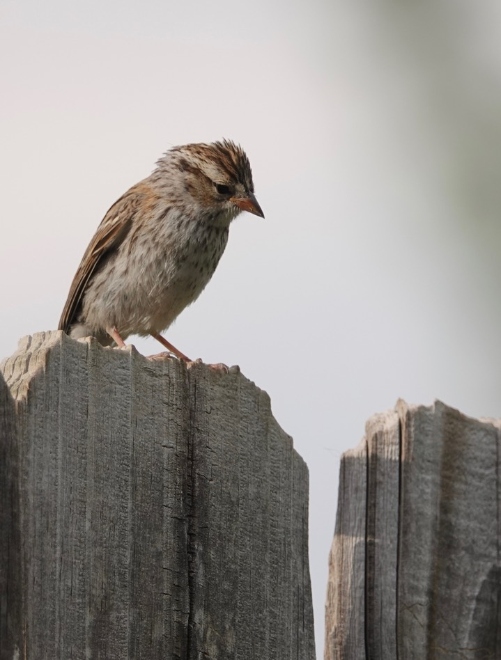 Chipping Sparrow1
