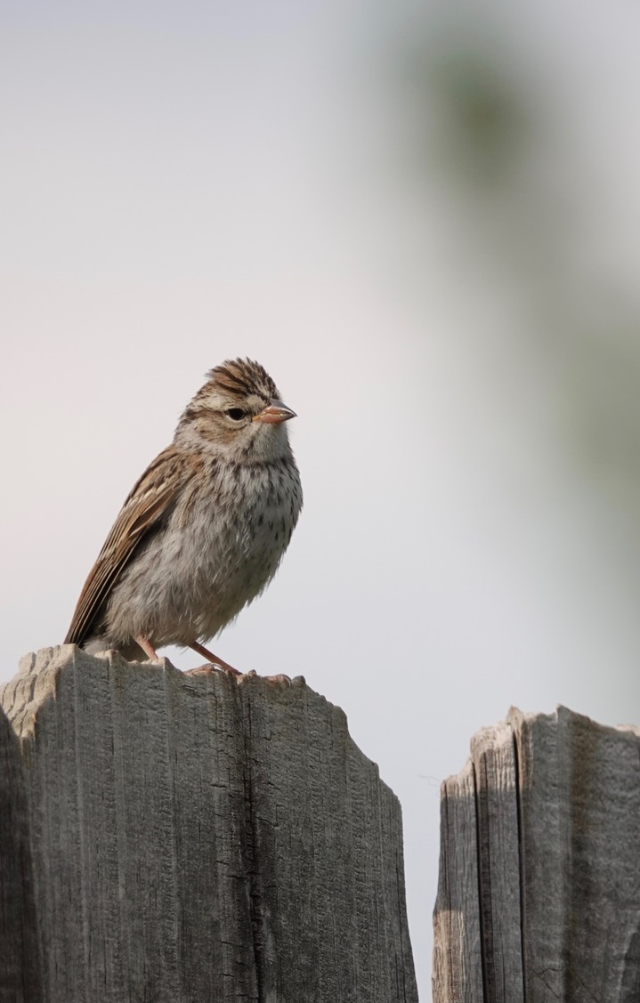 Chipping Sparrow3