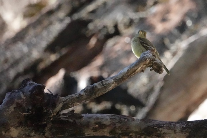 Cordilleran Flycatcher Empidonax occidentalis4