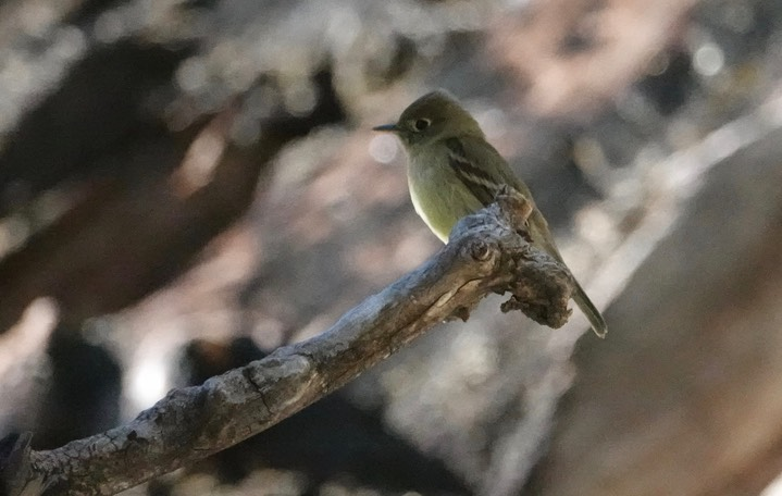 Cordilleran Flycatcher Empidonax occidentalis5