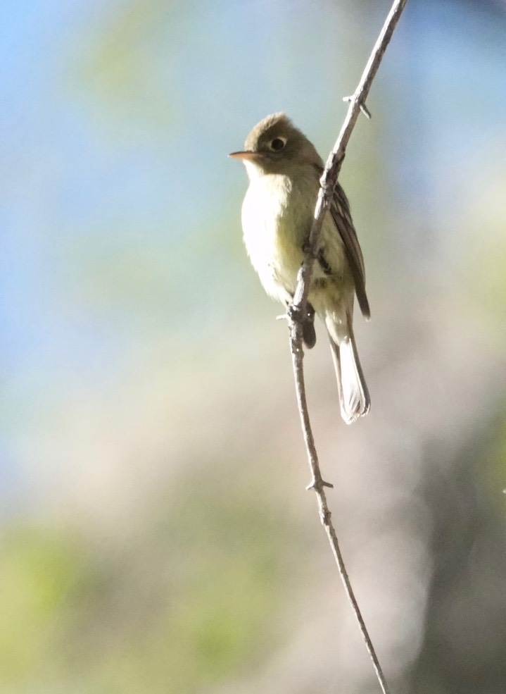 Cordilleran Flycatcher Empidonax occidentalis6