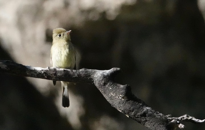 Cordilleran Flycatcher Empidonax occidentalis