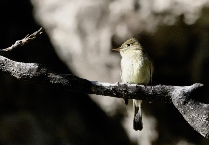 Cordilleran Flycatcher Empidonax occidentalis2