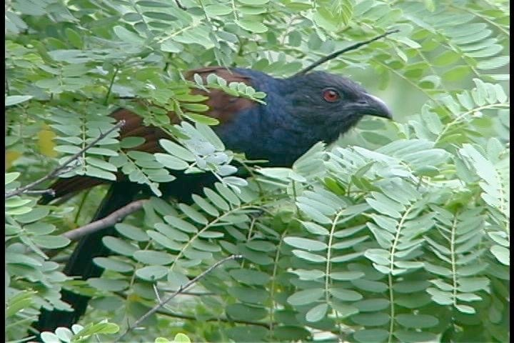 coucal, great