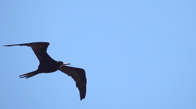 Frigatebird, Magnificent (Colombia) 1