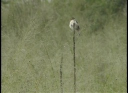 Grassbird, Broad-tailed 1
