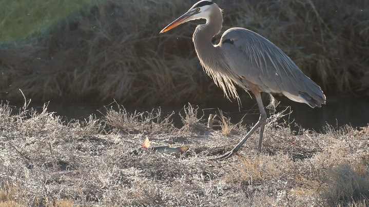 Heron, Great Blue 1
