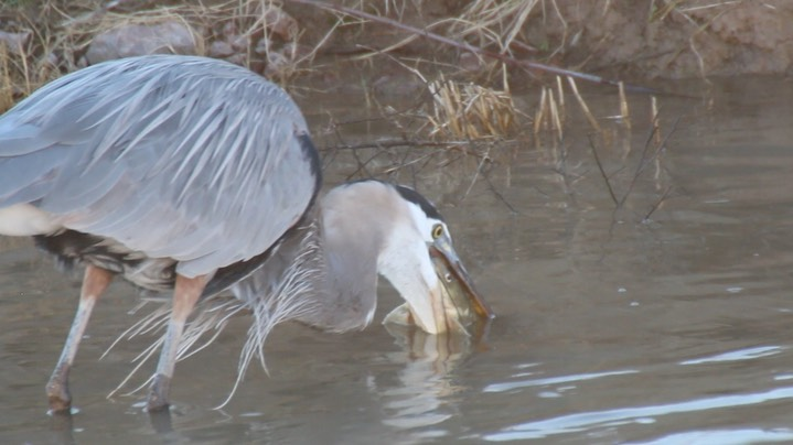 Heron, Great Blue 3